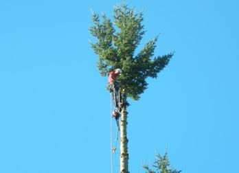man on top of tree to cut down branches in Redmond, WA